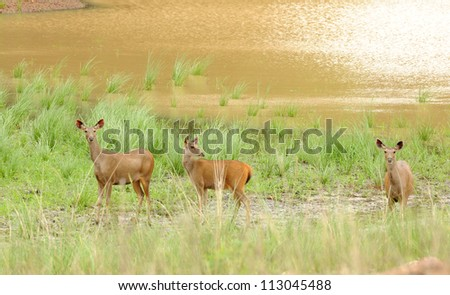 Spotted Deer - stock photo