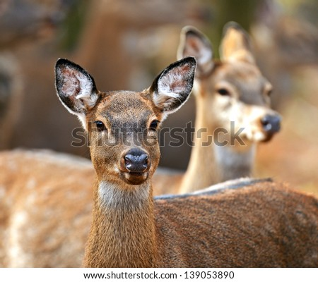Spotted Deer in a natural habitat - stock photo