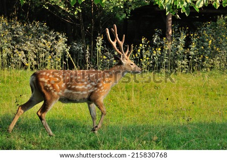 Spotted deer in the meadow in the woods.  - stock photo