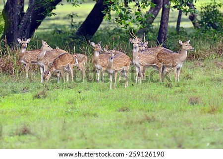 Spotted deer in the wild on the island of Sri Lanka - stock photo