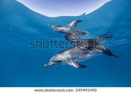 Spotted Dolphin Portrait in the Bahamas - stock photo