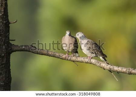 Spotted dove in Ella, Sri Lanka ; specie Streptopelia chinensis  - stock photo