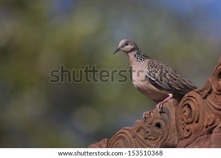 Spotted Dove (Streptopelia chinensis tigrina), at the Mimpi Resort Tulamben in Bali, Indonesia. - stock photo