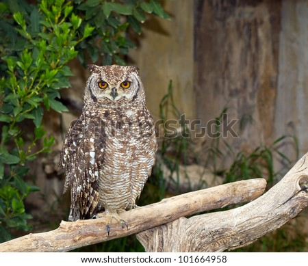 Spotted Eagle-Owl (Bubo africanus) - stock photo
