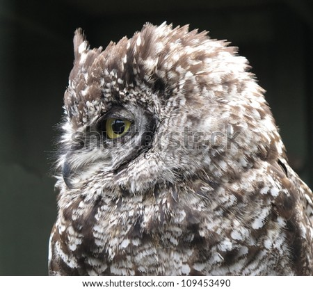 Spotted Eagle owl Bubo africanus - stock photo