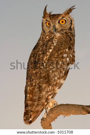 Spotted eagle-owl (Bubo africanus) at dawn, Kalahari, South Africa