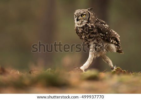 stock-photo-spotted-eagle-owl-funny-runn