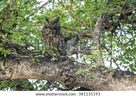 Spotted eagle-owl in kruger national park, South Africa ; Specie Bubo africanus family of  Strigidae