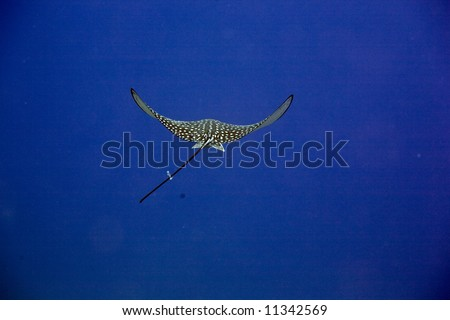 Spotted Eagle Ray (Aetobatus narinari) - stock photo