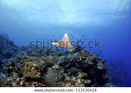 Spotted Eagle Ray on top of the wall - stock photo