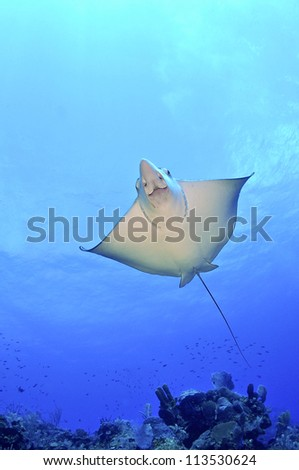 Spotted Eagle Ray Underneath - stock photo
