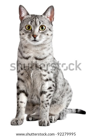 Spotted Egyptian Mau cat sitting and looking straight at camera.  Cat is female and has black spots on a silver with white background.  Isolated
