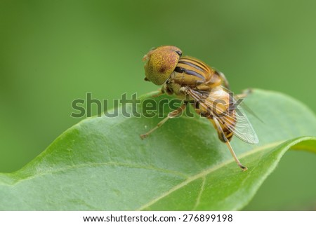 Spotted Eyed Drone Fly - stock photo