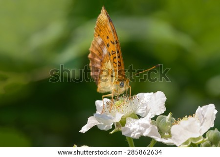 Spotted Fritillary  Red-band Fritillary sucking nectar from  white flower of blackberry. green blurred background - stock photo