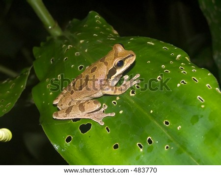 Spotted frog from Costa Rica