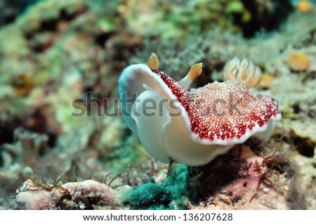 Spotted goniobranchus (Goniobranchus reticulates) nudibranch is crawling along a reef, Panglao, Philippines - stock photo