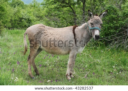Spotted grey donkey