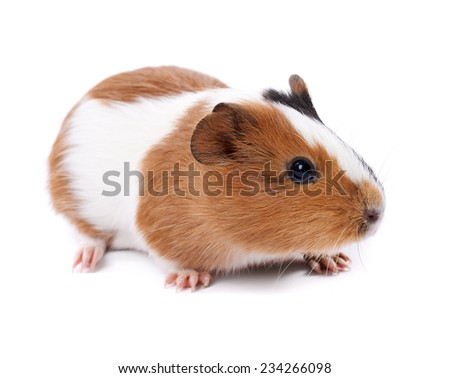 spotted guinea pig on a white background - stock photo