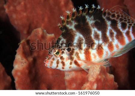 Spotted hawkfish (Cirrhitichthys aprinus) on sponge - stock photo