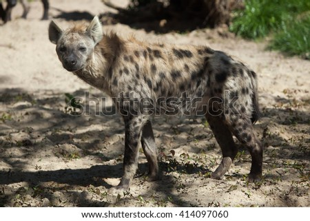 Spotted hyena (Crocuta crocuta), also known as the laughing hyena. Wild life animal.  - stock photo