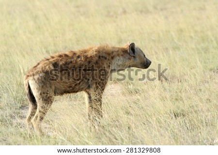 Spotted Hyena (Crocuta crocuta) in the National park of Kenya - stock photo