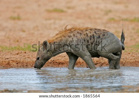 Spotted hyena (Crocuta crocuta) in water, Kalahari, South Africa