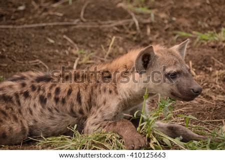 Spotted hyena cub alert to bush activity in close proximity to the den