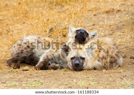 Spotted Hyena Cubs, Kruger National Park, South Africa - stock photo