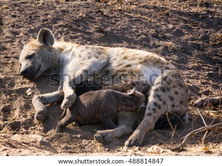 Spotted hyena female feeding cubs in Kruger National Park, South Africa