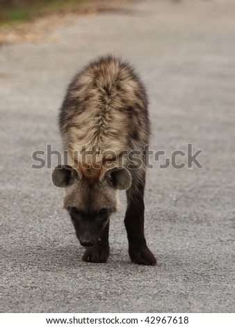 Spotted Hyena front and top view. - stock photo