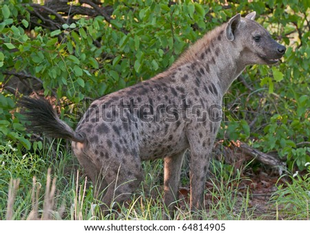 Spotted Hyena in thick foliage in the Greater Kruger Transfrontier Park, South Africa