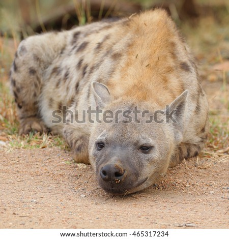 Spotted hyena lying on ground next to road, Kruger National Park