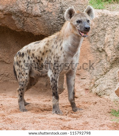 Spotted Hyena, Outdoor - stock photo