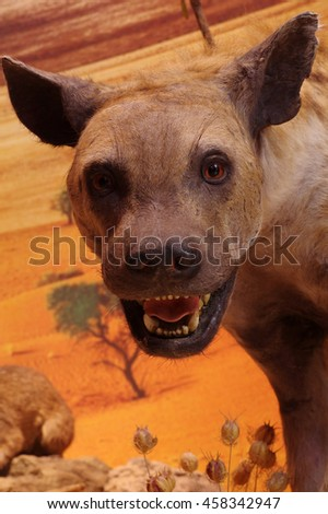 Spotted hyena portrait taxidermy