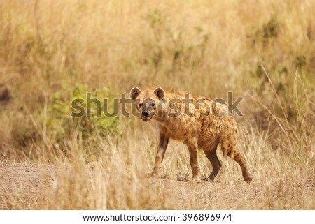 Spotted hyena stands alert in dried grass - stock photo