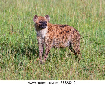 Spotted Hyena stands on a green meadow after night rain - Kenya, Eastern Africa - stock photo