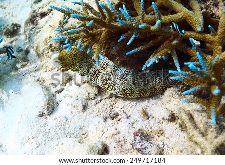 Spotted moray eel fish hiding in coral reef - stock photo