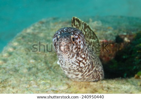 Spotted Moray (Gymnothorax moringa) peering out from fuselage of airplane wreck - Roatan - stock photo