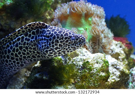 Spotted moray in coral reef - stock photo