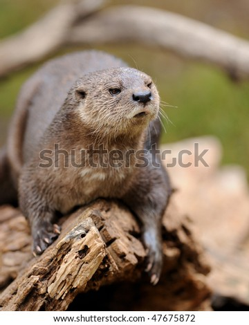 Spotted-necked otter - stock photo