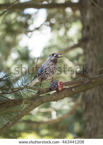 Spotted Nutcracker Eating Pinus Cembra Cone