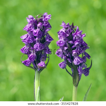 Spotted orchid; Dactylorhiza maculata - stock photo