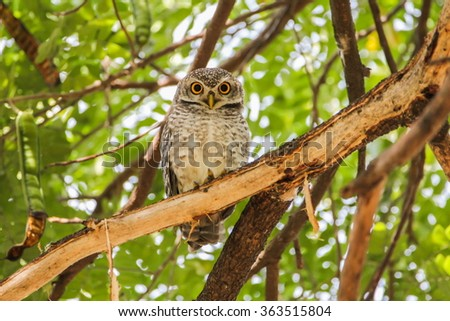 Spotted Owlet (Athene Brama) is sitting on the tree.