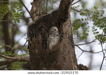 Spotted owlet wake up in it's home - stock photo