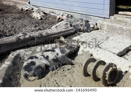 Spotted pig lying in a mud