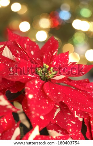 spotted poinsettia plant with green background - stock photo