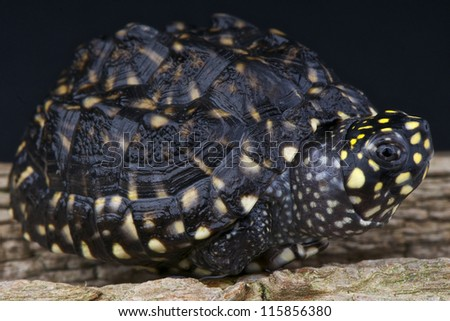 Spotted pond turtle / Geoclemys hamiltonii - stock photo