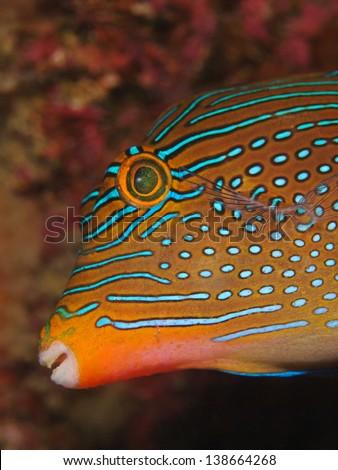 Spotted puffer, Augenfleck Spitzkopfkugelfisch (Canthigaster solandri) - stock photo