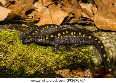 Spotted Salamanders - stock photo