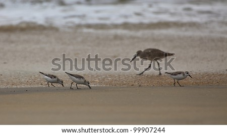 Spotted sandpiper Actitis macularia,  looking for feed on a sandy beach - stock photo